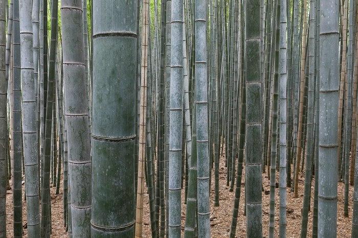 1200px-Bamboo_Forest,_Arashiyama,_Kyoto,_Japan